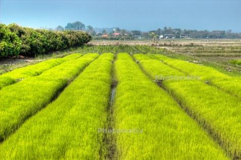 Rice seedlings nursery