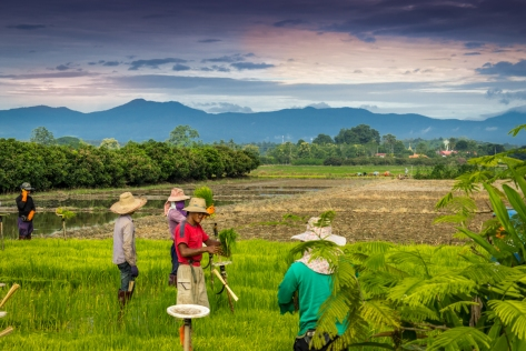Preparing the rice seedlings for planting - Huai Kaew - Chiang Mai