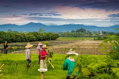 Preparing the rice seedlings for planting - Huai Kaew - Chiang Mai