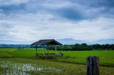 A Lam Yai farm between young rice and mountains