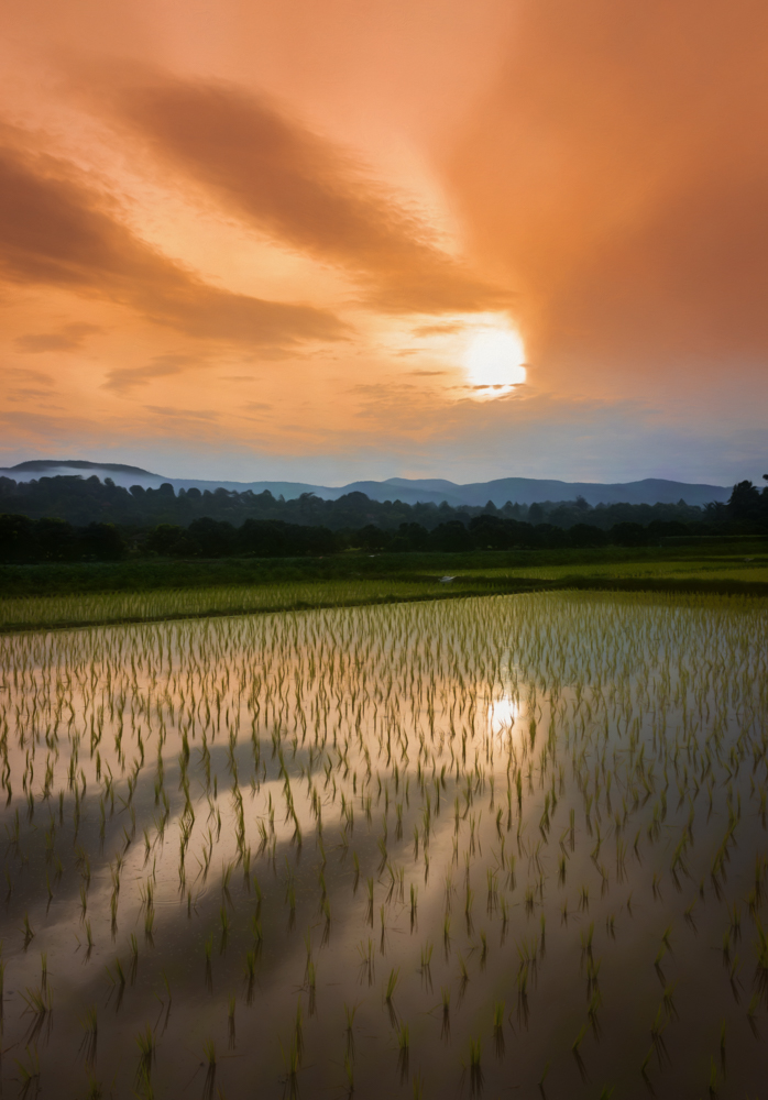 Sun rises over new rice