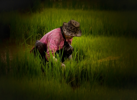 Picking rice seedlings all alone